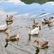 Domestic Geese Swimming in Pond - Stock Photo