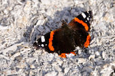 The beautiful red admiral butterfly — Stockfoto