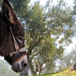 Donkey and olive tree - Stock Photo
