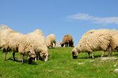 Sheep grazing grass on mountain — Stock Photo