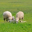 Sheep and lambs grazing on meadow — Stock Photo #40688175