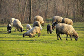 Sheep grazing on meadow — Stok fotoğraf