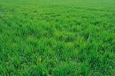 Field of green wheat field — Stock Photo