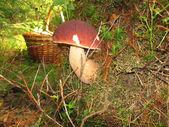 Mushroom boletus — Stock Photo