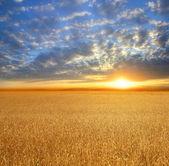 Field of wheat — Stockfoto