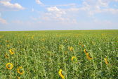 Field with sunflowers and the blue sky — Stok fotoğraf