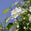 Stock Photo: Apple-tree flowers.