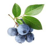 Blueberry twig — Stock Photo