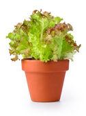 在花盆里的生菜 — 图库照片
