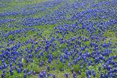 Texas Bluebonnets — Stock Photo