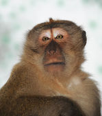 Close-up portrait of a monkey — Foto de Stock