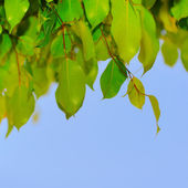 Green leaf on a tree — Stock Photo