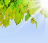 Verde hoja de un árbol — Foto de Stock