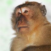 Close-up portrait of a monkey — Stock Photo