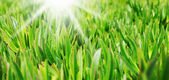 Green grass on the lawn — Stock Photo