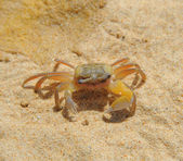 Crab on sea sunny beaches — Stock Photo