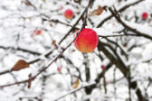Red apple on a branch in the snow — Stock Photo