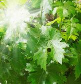 Green grape leaves — Stock Photo