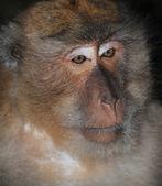 Retrato de primer plano de un mono — Foto de Stock