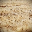 Rye field on a beautiful sunny sky background - Foto Stock
