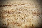 Rye field on a beautiful sunny sky background — Stock Photo