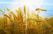 Rye field on a beautiful sunny sky background — Stock Photo