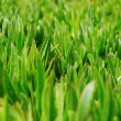 Green grass on the lawn — Stock fotografie