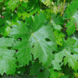 Green grape leaves — Stock Photo #27055627