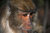 Close-up portrait of a monkey — Stock Photo