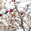 Red apple on branch in snow — Stock Photo #27779767