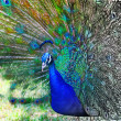 Beautiful peacock — Stock Photo #27780833