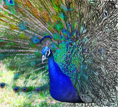 Beautiful peacock — Stockfoto