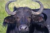 Buffalo - Africa, lies down in the grass — Foto Stock