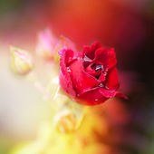 Close-up of red rose with water drops — Stock Photo