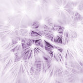 Abstract close-up. Meadow dandelion — Stock Photo