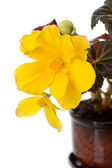 Yellow begonia flower on a white background — Stock Photo