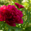 Peonies in Garden — Stock Photo #16817027