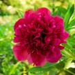 Peonies in Garden — Stock Photo #16817055