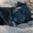 Black puppy — Stock Photo