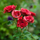 Red roses with water droplets — Stock Photo