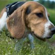 Beagle puppy on the green grass - Stock Photo