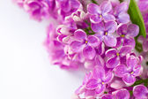 Lilac branch on a white background — Stock Photo