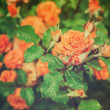 Orange rose — Stockfoto #24904439