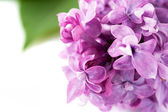 Lilac flowers — Stok fotoğraf