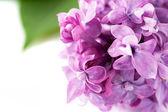ライラック色の花 — ストック写真
