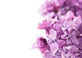 Vackra lila — Stockfoto