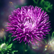 Chrysanthemum flower with bokeh — Stock Photo