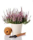 Heather flowers in a pot and garden tools — Stock Photo