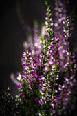 Heather flowers — Foto de Stock