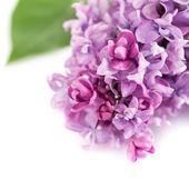 Lila blommor — Stockfoto